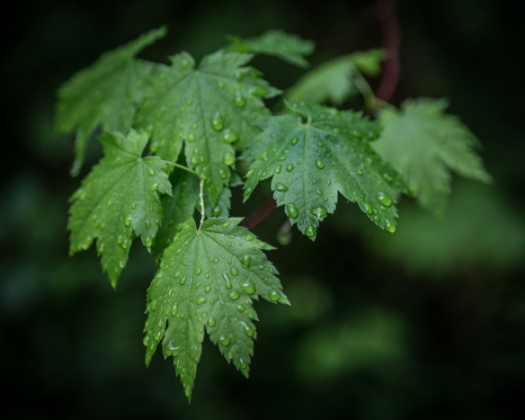 Leaves_Clarity