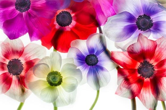 anemones-1-lg